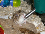 Campbell's Russian Dwarf Hamster Drinking Water