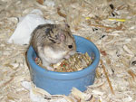 Picture of a Campbell's Russian Dwarf Hamster